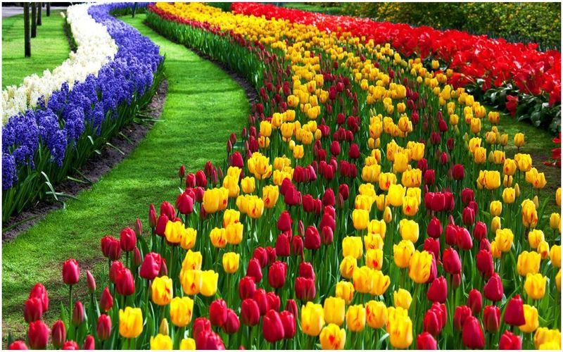 Fest-tulip